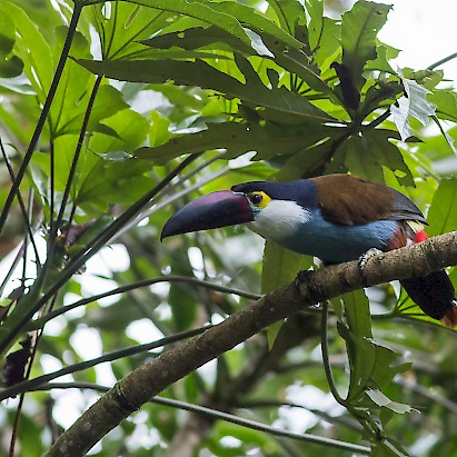 Colombia Birding Holiday